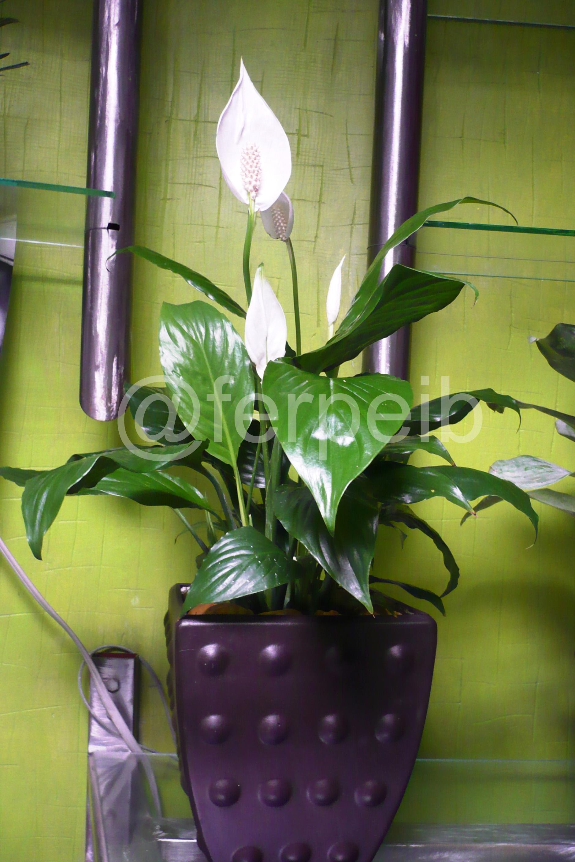Plantas de interior zooarteyjardin - Planta cuna de moises ...